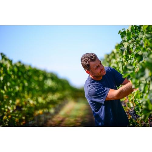 Robi v vinogradu